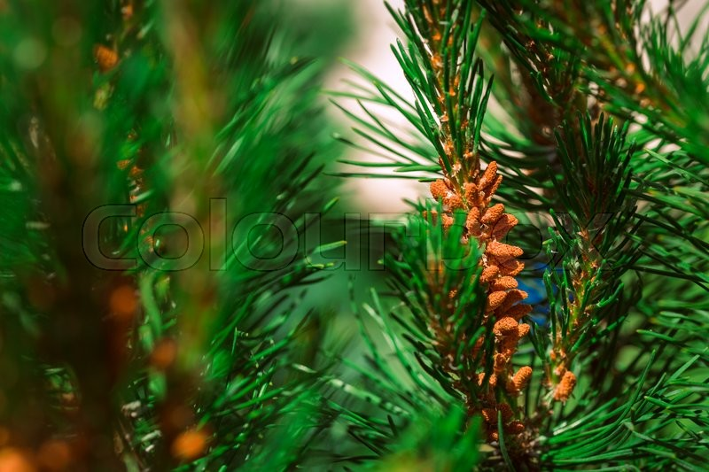 Stock image of 'decorative pine bush on a background of leaves.'