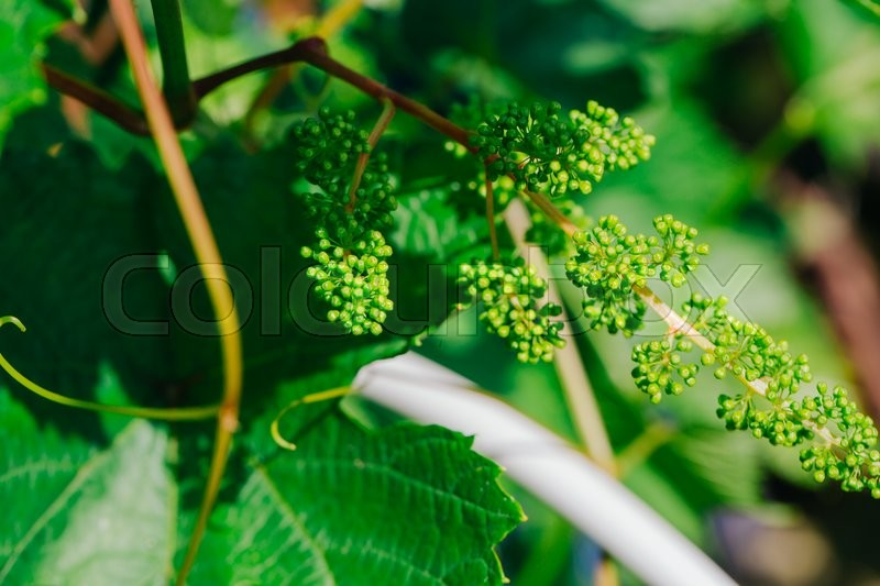 Stock image of 'many young clusters of grapes close up.'