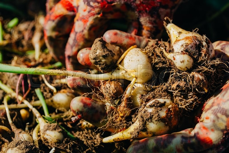 Stock image of 'many young tulip onions lie in the hands of a close-up.'