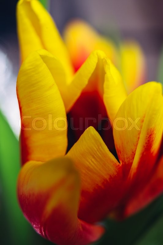 Stock image of 'bouquet of fresh tulips close-up  macro shot'