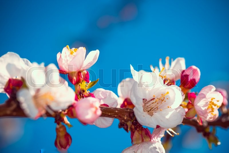 Stock image of 'Flowering apricot tree branch against   the sky'