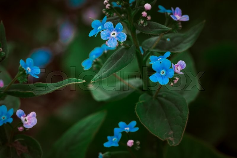 Stock image of 'Many small blue wild  flowers on a background of green leaves'