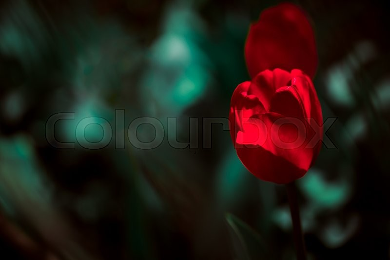 Stock image of 'Red tulips on  blurred green   background and leaf'