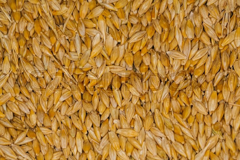 Stock image of 'lot of fresh grains  of wheat close-up'