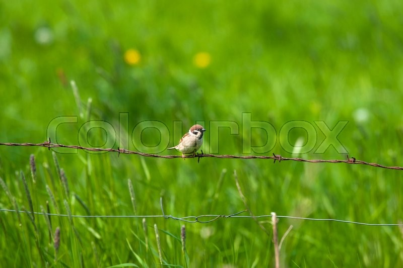 Stock image of 'Barb wire with a house sparrow in a countryside'