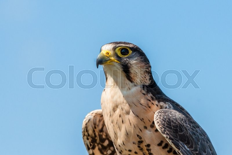 Stock image of 'Kestrel falcon with yellow beak on blue background'