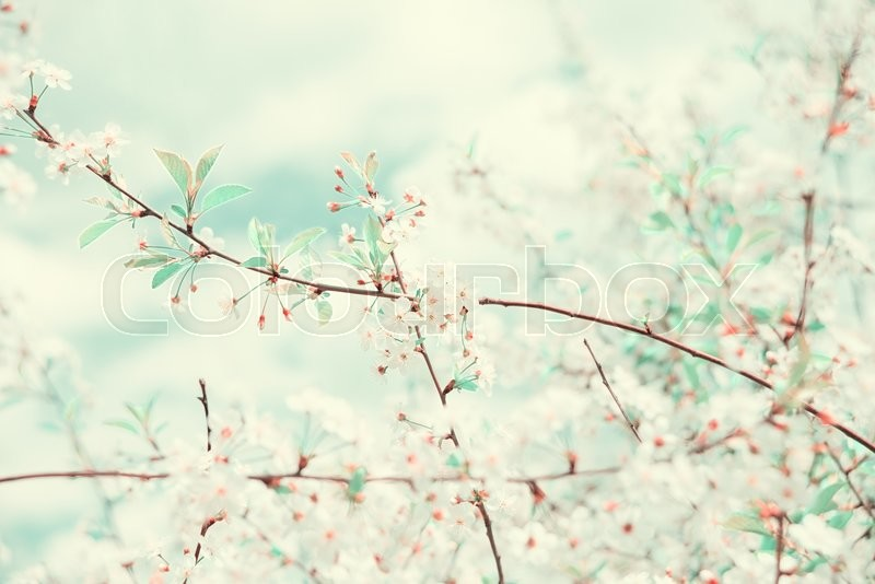 Stock image of 'Branches of blossoming cherry tree covered with white flowers in the spring garden against the blue sky; toned image'