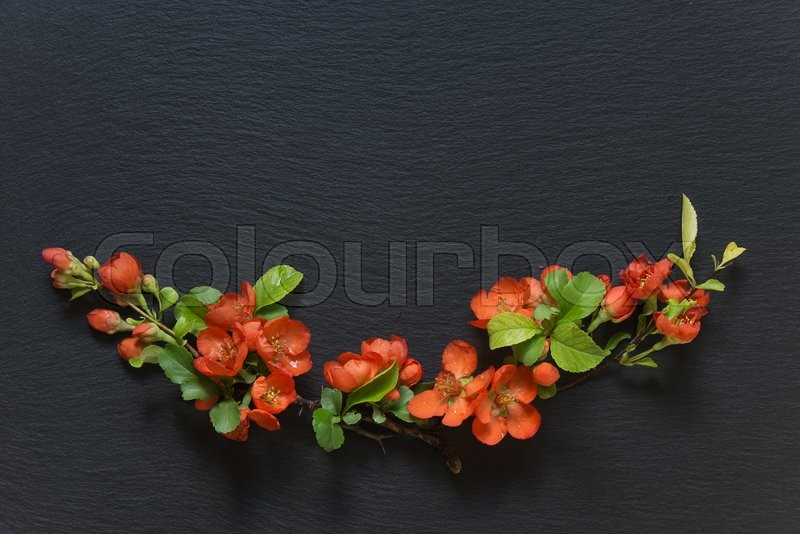 Stock image of 'Japanese quince Chaenomeles branches with red flowers covered with water drops  lie on a background of black slate; flat lay, overhead view'