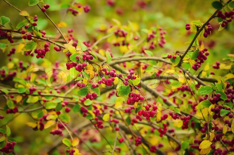 Stock image of 'Hawthorn red berries in nature, autumn seasonal vintage background'