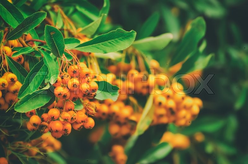 Stock image of 'Red autumn berries of Pyracantha with green leaves, natural seasonal fall background'