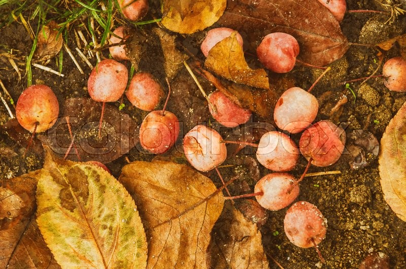 Stock image of 'Grunge textured flat natural seasonal autumn background with small fallen red apples and leaves'
