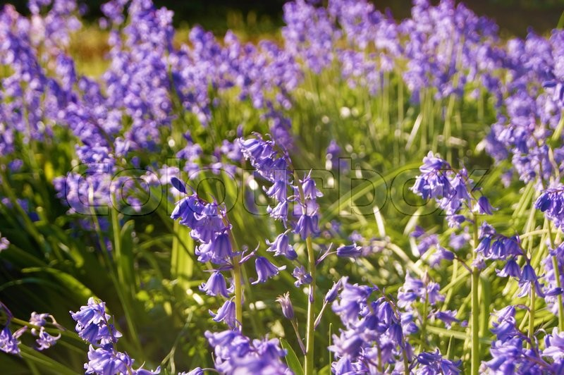 Stock image of 'Colourful Bluebell Flowers.'