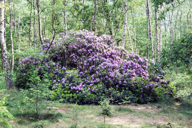 Stock image of 'Giant purple rhododendron plant and flowers in bark trees forest'