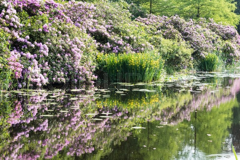 Stock image of 'rhododendrons and trees reflect in water in nature area near Baarn in Holland'
