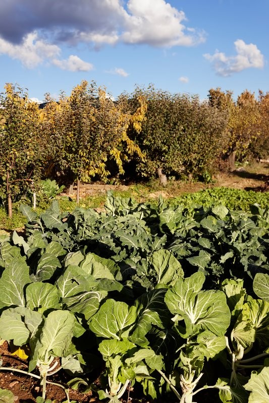 Stock image of 'Orchard in autumn in foreground cabbage, broccoli and other vegetables. In the background fruit trees.'