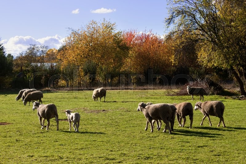 Stock image of 'Flock of Merino sheep grazing in a meadow on a sunny day.'