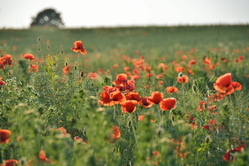 Stock image of 'poppy, poppies, mark'