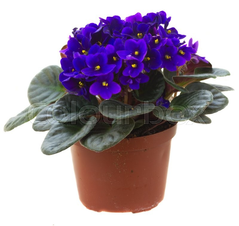Stock image of 'Posy of fresh growing violet flowers in pot isolated on white background'