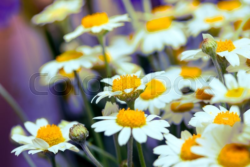 Stock image of 'summer. beautiful bouquet of daisies\'