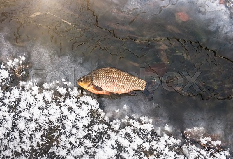 Stock image of 'One fresh carp fish lying on cold ice'