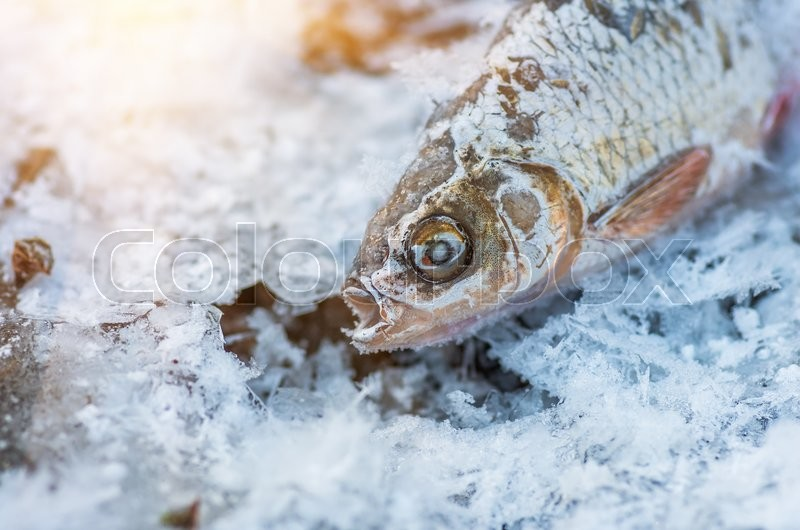 Stock image of 'Frozen fish roach lying on ice in winter'