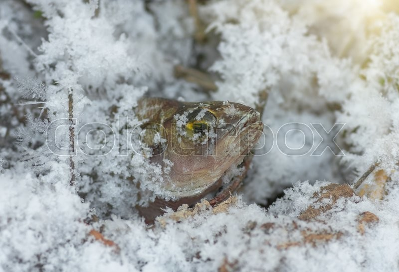 Stock image of 'Perch Fish frozen in ice in the winter in the river'