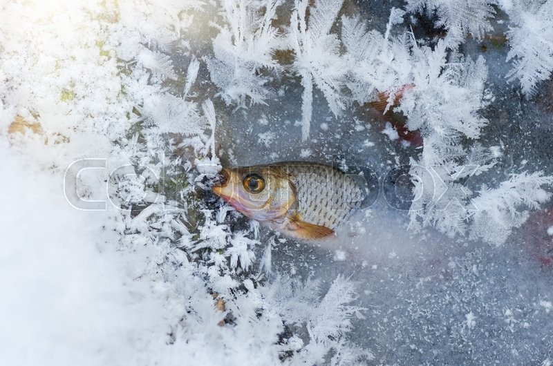 Stock image of 'roach Fish frozen in ice in the winter in the river'