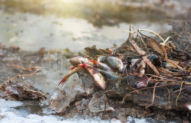 Stock image of 'Fish roach winter frozen in the ice on the river'