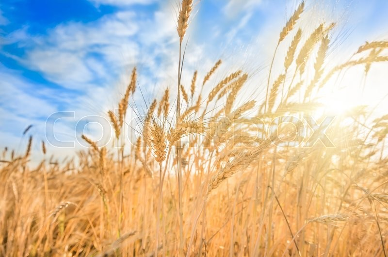 Stock image of 'Ripe ears of wheat on the field in summer'