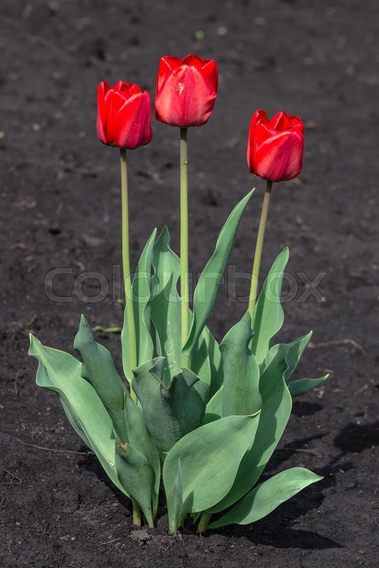 Stock image of 'Red tulips growing in the flowerbed in spring'
