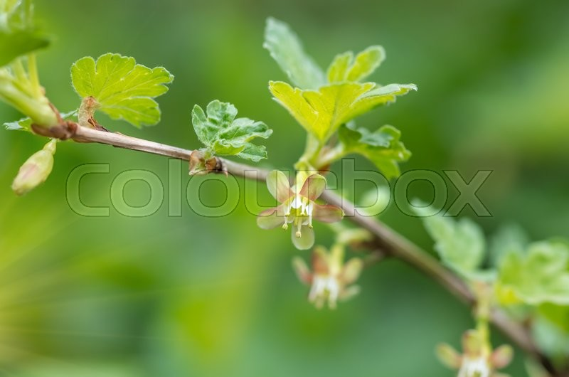 Stock image of 'gooseberry flowers on a green branch barbed spring'