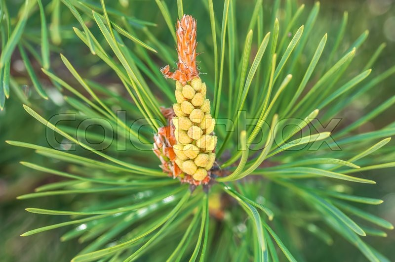 Stock image of 'Flowering branch of pine in the spring close'