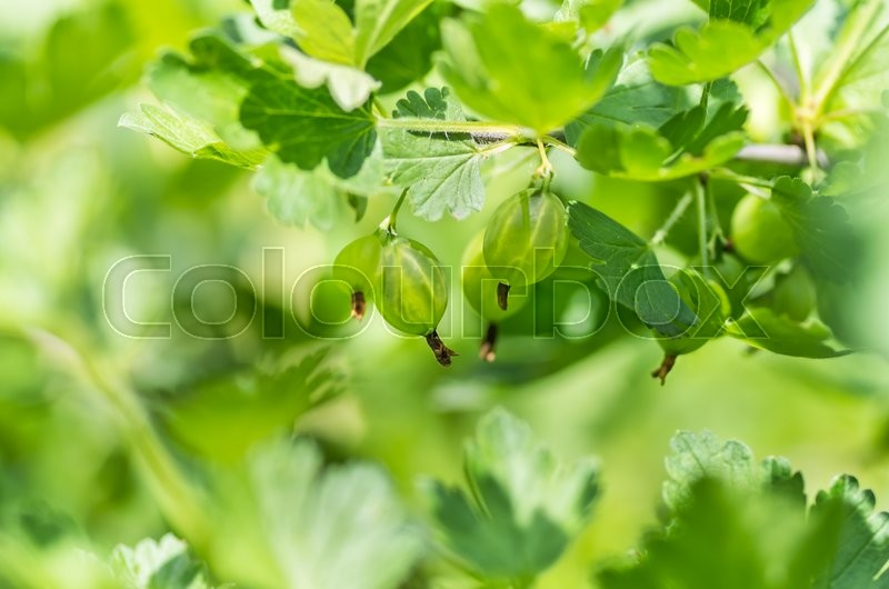 Stock image of 'Gooseberries ripening on the branch prickly green'