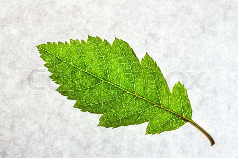Stock image of 'Green leaf on a gray background closeup'