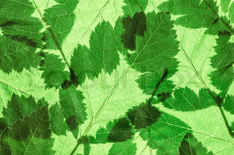 Stock image of 'Green fresh leaves of the tree close-up background'