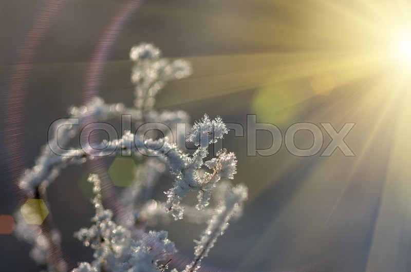 Stock image of 'snow and frost on a dry grass winter on a sunny morning'