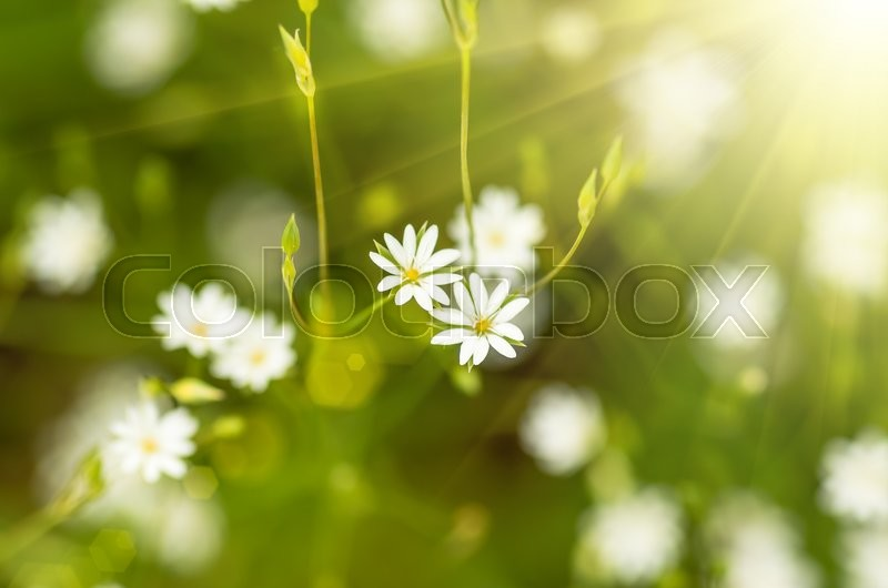 Stock image of 'small white wild flowers growing in the forest'