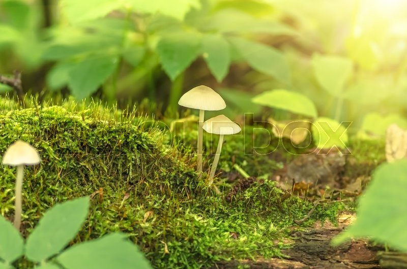 Stock image of 'Inedible mushrooms and moss growing in the forest'