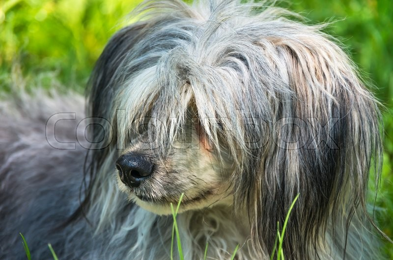 Stock image of 'Long-haired dog in the green grass in the summer'