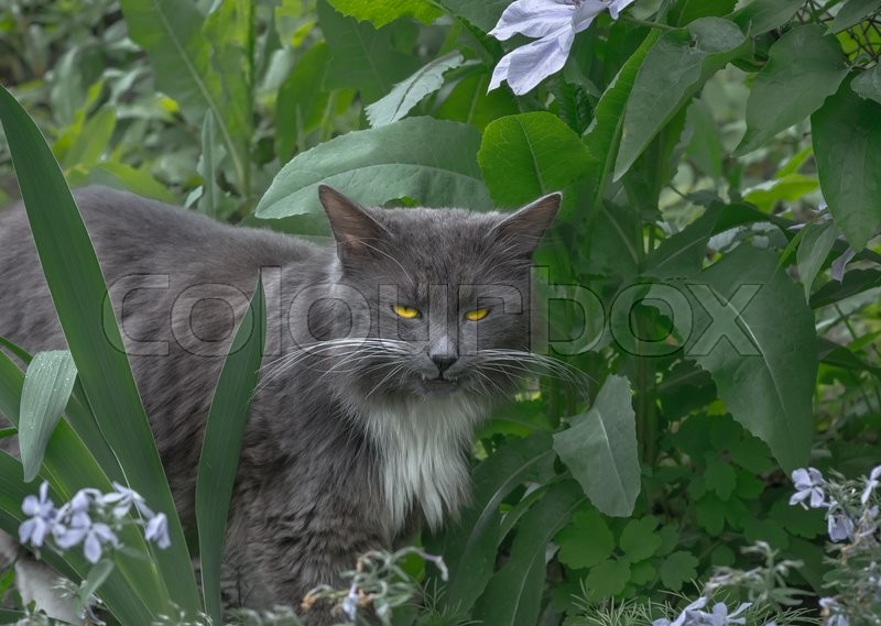 Stock image of 'Angry gray fluffy cat in green bushes'