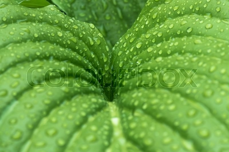Stock image of 'Beautiful green leaf texture with drops of water'