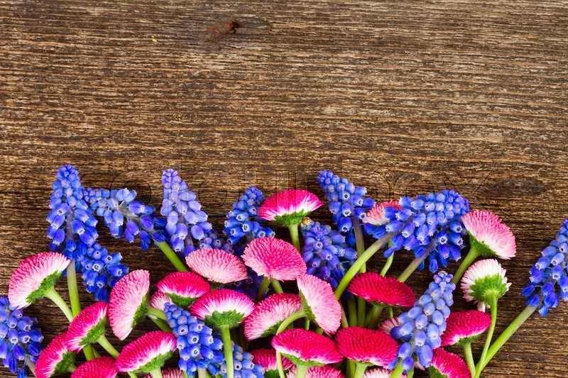 Stock image of 'Muscari and Daisy Flowers on wooden table border'