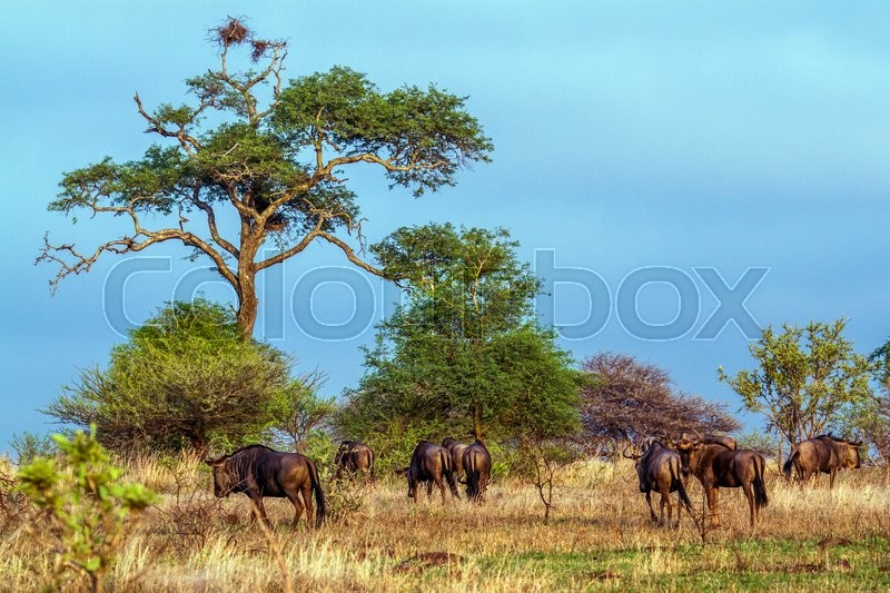 Stock image of 'Blue wildebeest in Kruger National park, South Africa'