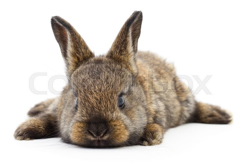 Stock image of 'Isolated image of a brown bunny rabbit.'