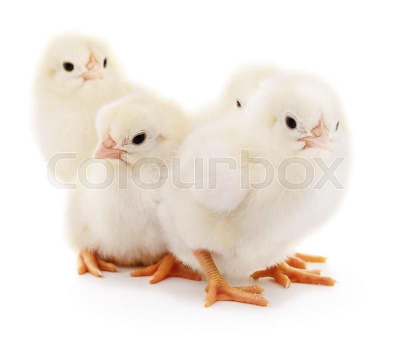 Stock image of 'Four small chickens isolated on white background.'