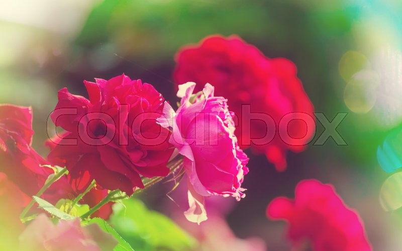 Stock image of 'Red Rose, close up shot'