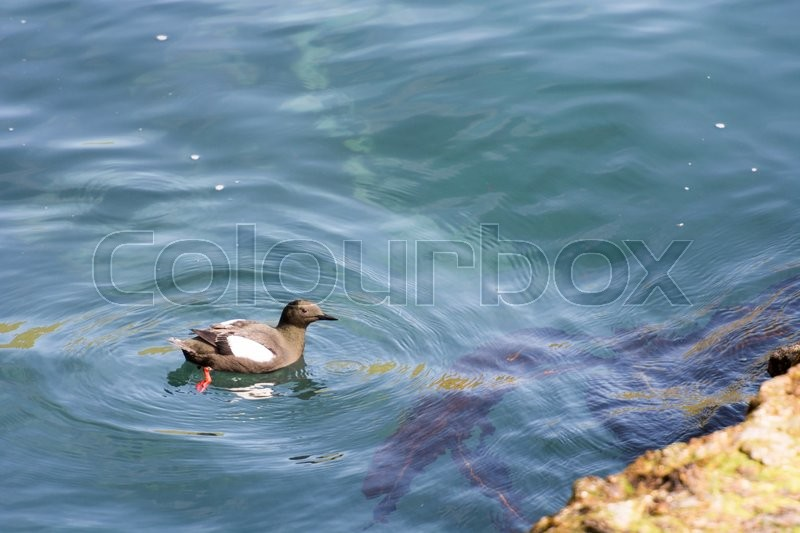 Stock image of 'Black Guillemot, Cepphus grylle on water on the Faroe Islands'