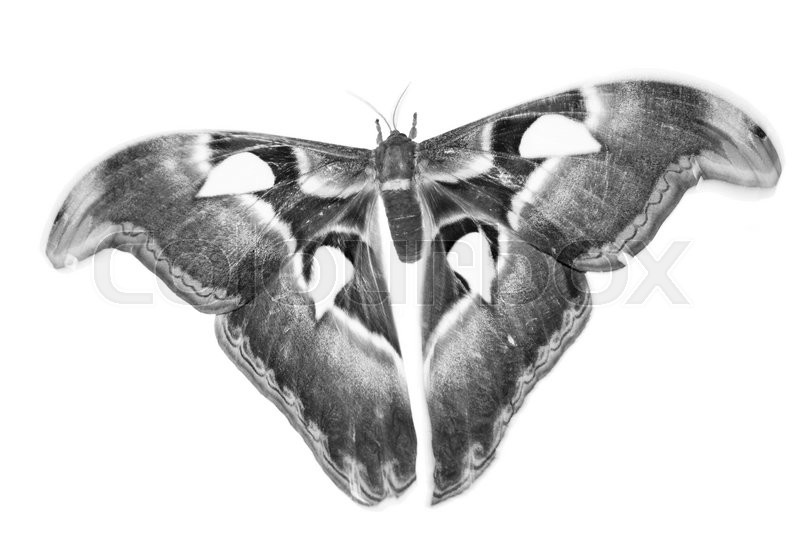 Stock image of 'butterfly in black and white style. isolated on white background.'