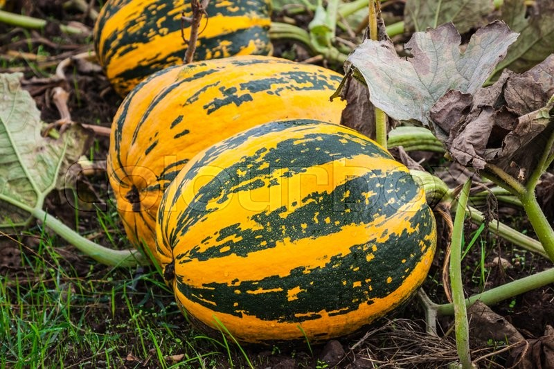 Stock image of 'Pumpkins on the field'
