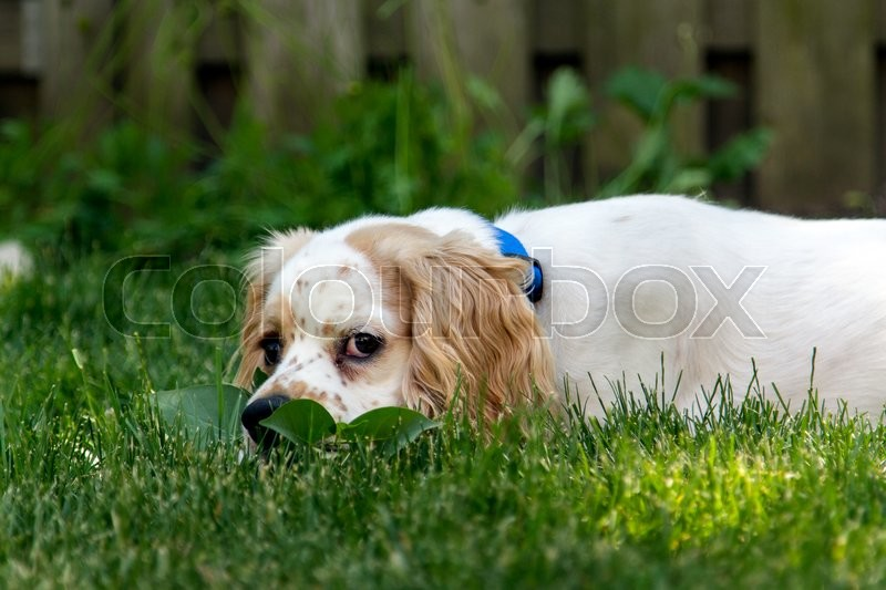 Stock image of 'A male cocker Spaniel puppy playing in the grass'